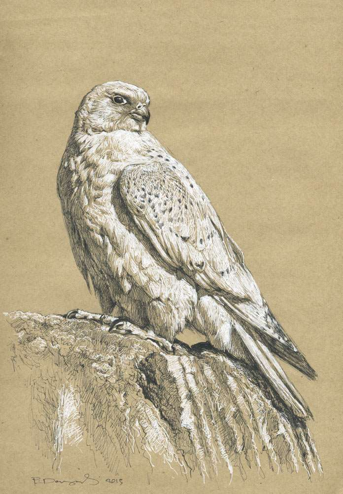 wildlife art nature drawings and fieldsketches paschalis dougalis